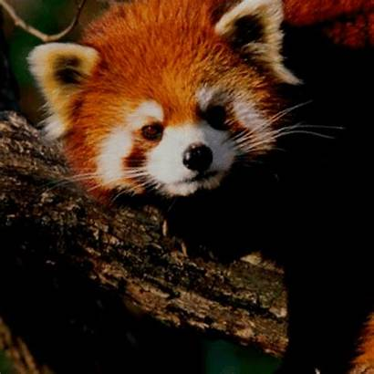 Panda Vermelho Comecar Vamos