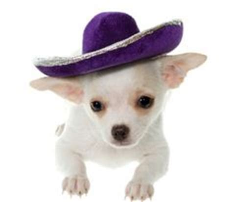 chihuahua  sombreros images