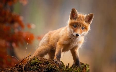 red fox kit dogs animals background wallpapers