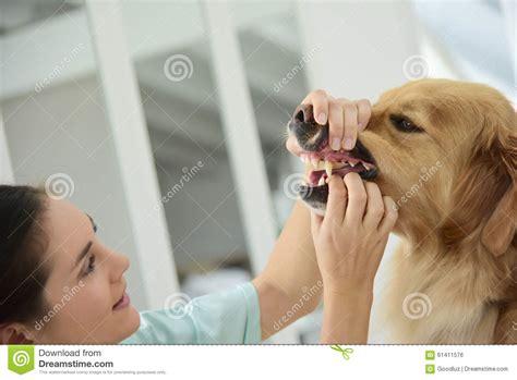 interno bocca veterinario controlla i denti fotografia