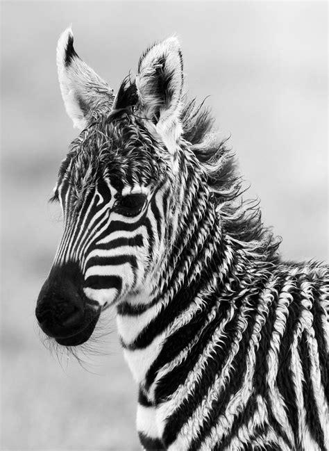 Zebra Foal Denz Amazing World Beautiful