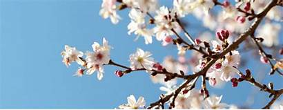 Blossom Cherry Japanese Spring Blossoms Nature Trees
