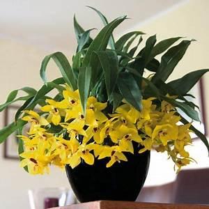 Zimmerpflanzen Auf Rechnung : promenaea xanthina i need this in my life orchideje pinterest zimmerpflanzen online ~ Themetempest.com Abrechnung