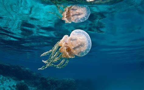 Conoce 8 asombrosas medusas que te encantarán - Acuario Michin