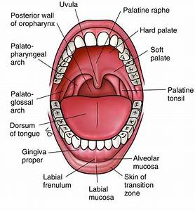 An3 08  Oral Cavity  Oropharynx  Swallowing
