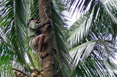 menderas kelapa membuat gula merah arumsekartaji