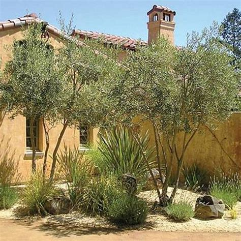 olive tree landscape olive trees tuscan landscape design plants options of tuscan garden design pinterest