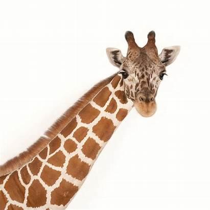 Giraffe Animals Neck Animal Geographic National Adapt