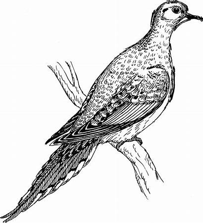 Dove Gambar Mourning Burung Vektor Clipart Stilasi