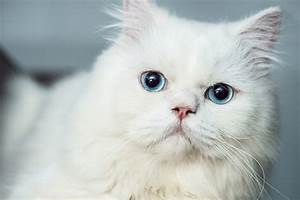 4 Things to Know About Cats With Blue Eyes  Catster