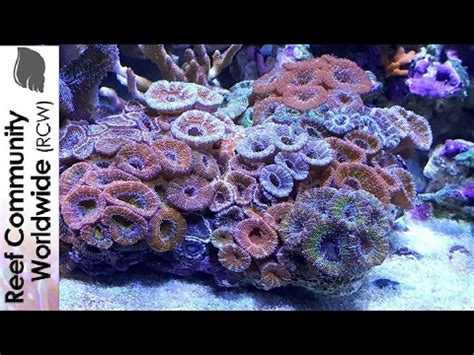 how to lower nitrates faq 33 how do nitrates affect coral coloration in the