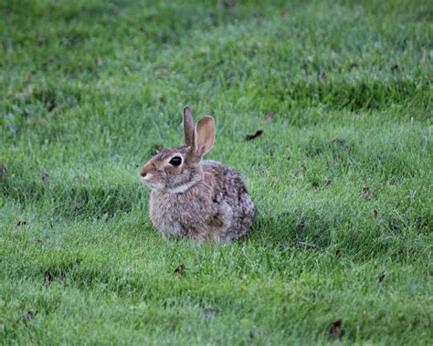 rabbits   identify   rid  rabbits garden