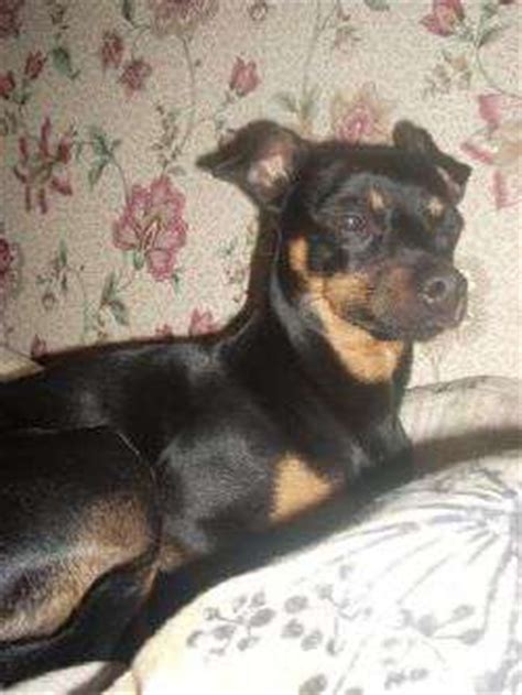 Information About Miniature Pinscher Terrier Mix Yousense Info