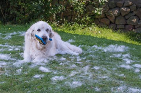 golden retriever shedding how much and how to get control