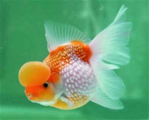 Plants & Flowers » Pearlscale Goldfish