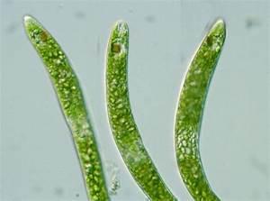 Images Of Euglena Ehrenbergii