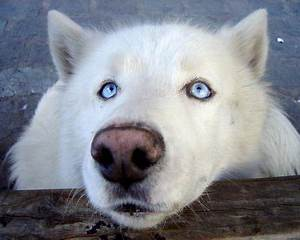 Top 25 ideas about White Wolves ♥ on Pinterest | A wolf ...