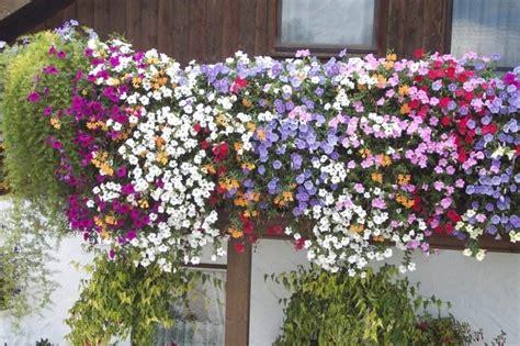 Balkonpflanzen Winterhart Sonnig by Balkonpflanzen Winterhart Sonnig Winterharte