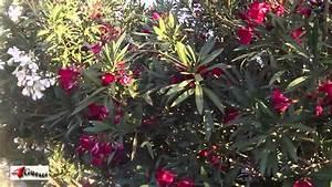 Oleander Plants Are Poisonous