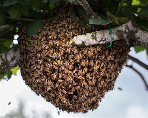 catch  bee swarm  install   beehive