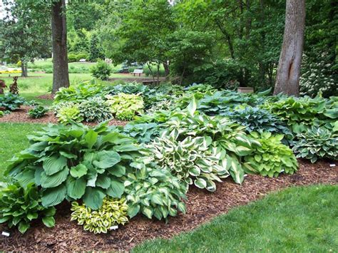 Hosta's Toughness, Variety Make It A