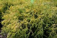 gold thread cypress Russell's Photo Gallery : Plants » Shrubs - Evergreen ...