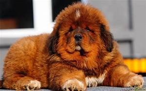TIBETAN MASTIFF | DOGS FOR EVERYONE