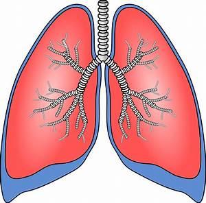 Free Vector Graphic  Lungs  Organ  Anatomy  Bronchia - Free Image On Pixabay