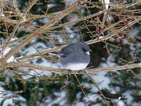 40 best birds of western north carolina images on pinterest