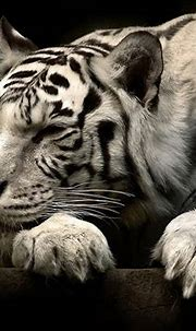 246 White Tiger HD Wallpapers | Background Images ...