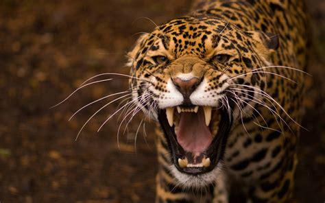 animals, Teeth, Jaguar, Jaguars Wallpapers HD / Desktop ...