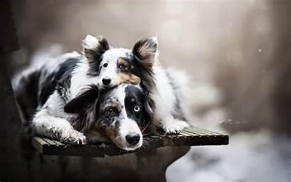 Shepherd Australian Dog Puppy Eyes Breeds American