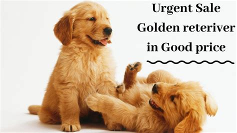 golden retriever puppies olx