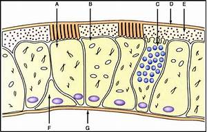 Cell Types Of The Nasal Epithelium Showing Ciliated Cell