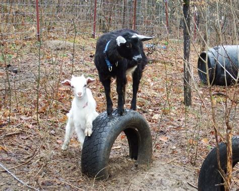 DIY Toys For Goats To Keep Them Busy   Home Design, Garden