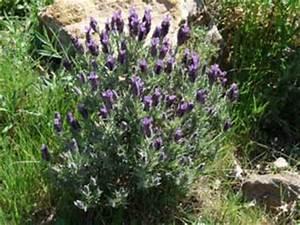 Lavendel Sorten übersicht : pflanzen am mittelmeer und auf den kanaren ~ Eleganceandgraceweddings.com Haus und Dekorationen