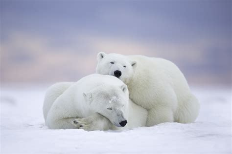 Polar Bears Cuddling 5k Retina Ultra Hd Wallpaper