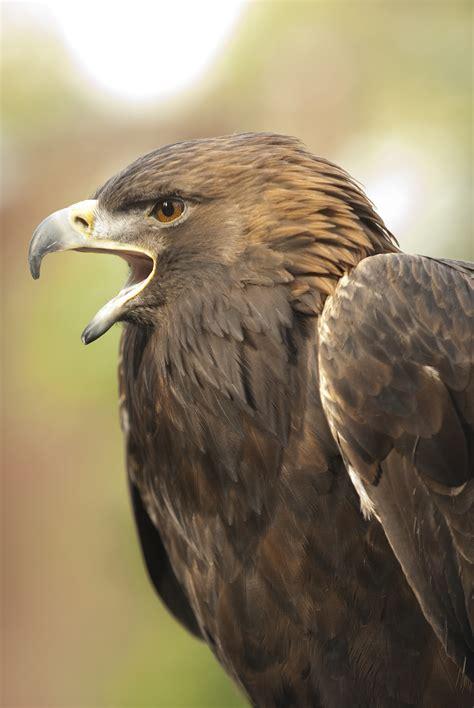 golden eagle oregon zoo