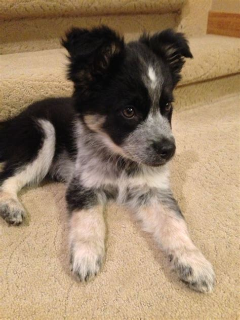 Do Blue Heeler Border Collies Shed by Best 25 Border Collie Puppies Ideas On