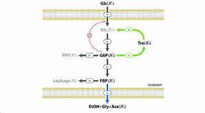 31 Glycolysis Diagram Simple
