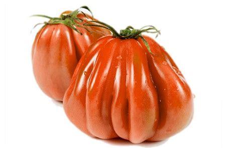 pomodori cuore di bue in vaso variet 224 ortofrutticole in via di estinzione ortofrutta