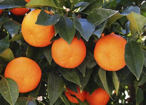 cuisiner les oronges oranger planter et entretenir ooreka