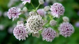 Welche Blumen Blühen Im August : sterndolde richtig pflegen tipps f r die trendpflanze ~ Orissabook.com Haus und Dekorationen