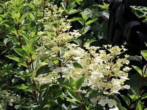 Hydrangea Paniculata Schneiden : hortensie rispenhortensie 39 wims red 39 hortensientr ume ~ Lizthompson.info Haus und Dekorationen