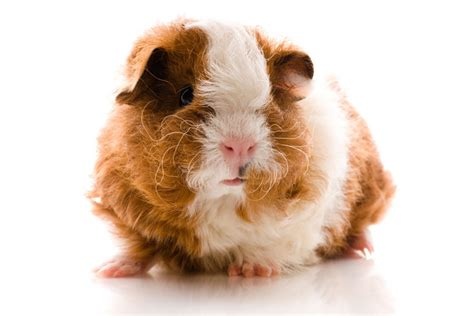 guinea pig breeds  pictures pet comments