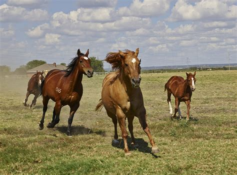 horses horse farm texas ranch mare pasture animal united states foal quarter mustang usa stallion nature america north brown running