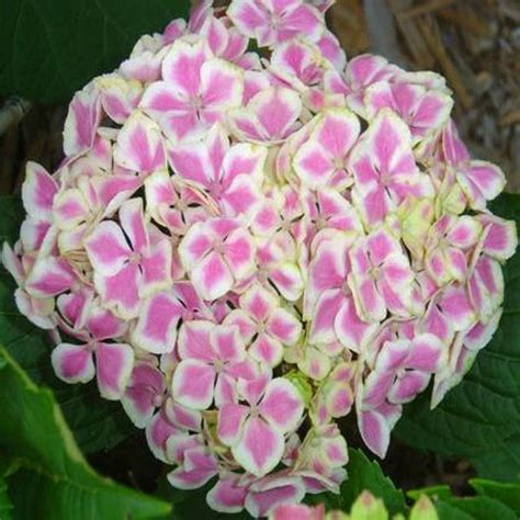 can hydrangeas be grown in pots all about hydrangeas home page