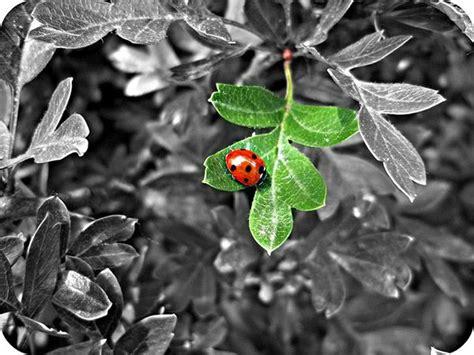 Ladybird By Rosiesykes In Impressive Black & White