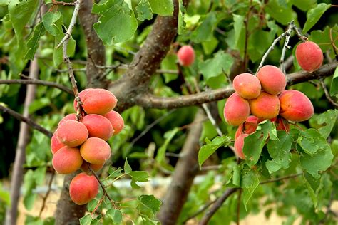 Apricot Varieties - Harvest to Table