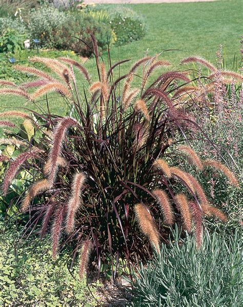 pennisetum setaceum rubrum purple grass rubrum purple fountain grass green meadow growers